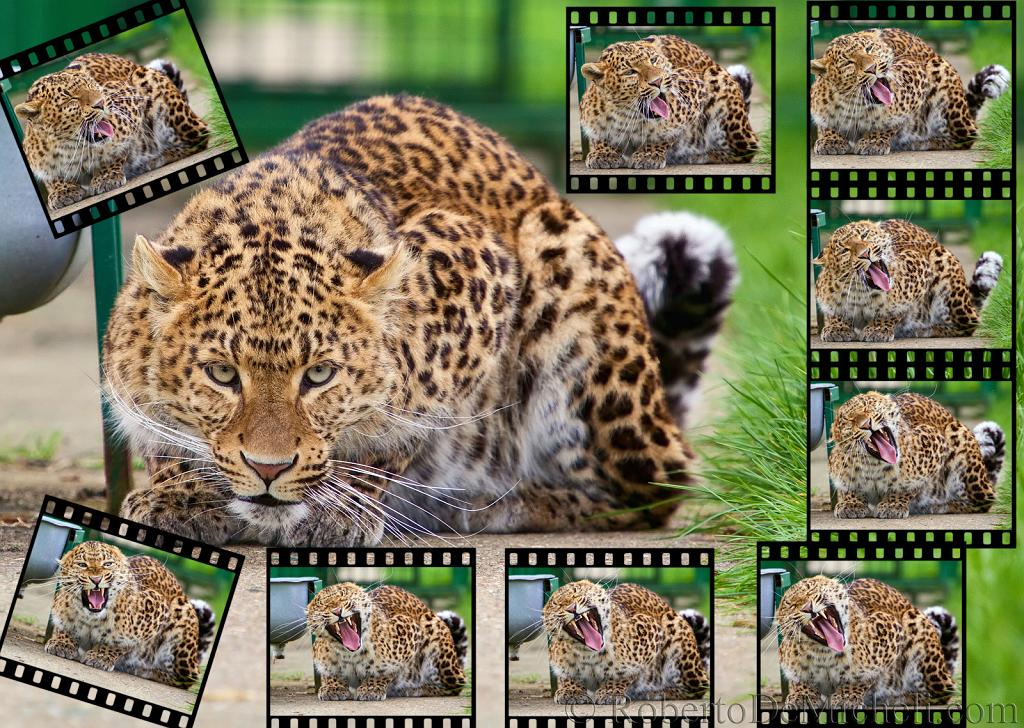 slides/IMG_9336S.jpg wildlife, feline, big cat, cat, predator, fur, spot, chinese, leopard, eye, whisker, yawn, film WBCW85 - Chinese Leopard Collage - The single frames are also available separately in full size
