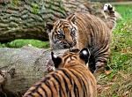 slides/IMG_0003.jpg sumatran, tiger, cub, wildlife, feline, big cat, cat, predator, fur, marking, stripe, eye WBCW102 - Sumatran Tiger Cubs