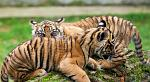 slides/IMG_0071.jpg sumatran, tiger, cub, wildlife, feline, big cat, cat, predator, fur, marking, stripe, eye WBCW103 - Sumatran Tiger Cubs