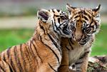 slides/IMG_0087.jpg sumatran, tiger, cub, wildlife, feline, big cat, cat, predator, fur, marking, stripe, eye WBCW104 - Sumatran Tiger Cubs