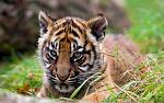 slides/IMG_0144.jpg sumatran, tiger, cub, wildlife, feline, big cat, cat, predator, fur, marking, stripe, eye WBCW105 - Sumatran Tiger Cub