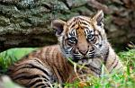 slides/IMG_0378.jpg sumatran, tiger, cub, wildlife, feline, big cat, cat, predator, fur, marking, stripe, eye WBCW106 - Sumatran Tiger Cub