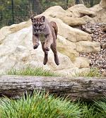 slides/IMG_0735.jpg puma, mountain, lion, cougar, wildlife, feline, big cat, cat, predator, fur, eye, jump WBCW119 - Puma - Mountain Lion - Jump