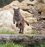slides/IMG_0741.jpg puma, mountain, lion, cougar, wildlife, feline, big cat, cat, predator, fur, eye, jump WBCW120 - Puma - Mountain Lion - Jump