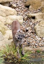 slides/IMG_0762.jpg puma, mountain, lion, cougar, wildlife, feline, big cat, cat, predator, fur, eye WBCW124 - Puma - Mountain Lion