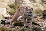 slides/IMG_0791.jpg puma, mountain, lion, cougar, wildlife, feline, big cat, cat, predator, fur, eye WBCW125 - Puma - Mountain Lion