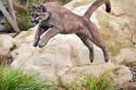 slides/IMG_0809.jpg puma, mountain, lion, cougar, wildlife, feline, big cat, cat, predator, fur, eye, jump WBCW123 - Puma - Mountain Lion - Jump