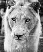 slides/IMG_1152_1.jpg african, white, lion, wildlife, feline, big cat, cat, predator, fur, eye, mane WBCW131 - White African Lion