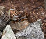 slides/IMG_1211.jpg rusty, spotted, cat, wildlife, feline, big cat, cat, predator, fur, eye, marking WBCW130 - Rusty Spotted Cat