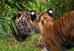 slides/IMG_1313.jpg sumatran, tiger, cub, wildlife, feline, big cat, cat, predator, fur, marking, stripe, eye WBCW107 - Sumatran Tiger Cubs