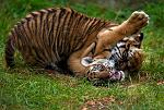 slides/IMG_1447.jpg sumatran, tiger, cub, wildlife, feline, big cat, cat, predator, fur, marking, stripe, eye, play WBCW109 - Sumatran Tiger Cubs