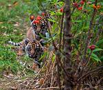 slides/IMG_1509.jpg sumatran, tiger, cub, wildlife, feline, big cat, cat, predator, fur, marking, stripe, eye, play WBCW112 - Sumatran Tiger Cubs