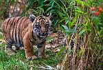 slides/IMG_1519.jpg sumatran, tiger, cub, wildlife, feline, big cat, cat, predator, fur, marking, stripe, eye, play WBCW113 - Sumatran Tiger Cubs
