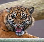 slides/IMG_1692.jpg wildlife, feline, big cat, cat, predator, fur, tiger, cub, sumatran, eye WBCW59 - Sumatran Tiger Cub