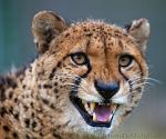 slides/IMG_2208.jpg wildlife, feline, big cat, cat, predator, fur, spot, cheetah, fang WBCW62 - Cheetah