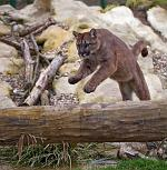 slides/IMG_2318.jpg wildlife, feline, big cat, cat, predator, fur, spot, puma, mountain lion, jump, action, cougar WBCW66 - Puma - Mountain Lion