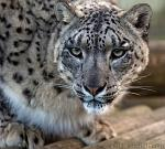 slides/IMG_2903.jpg wildlife, feline, big cat, cat, predator, fur, spot, snow, leopard, eye, steel WBCW51 - Snow Leopard