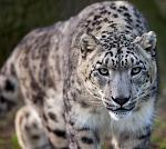 slides/IMG_3056.jpg wildlife, feline, big cat, cat, predator, fur, spot, snow, leopard, eye, steel WBCW54 - Snow Leopard