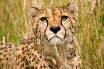 slides/IMG_4040.jpg wildlife, feline, big cat, cat, predator, fur, spot, cheetah WBCW24 - Cheetah