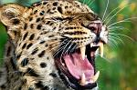 slides/IMG_4193.jpg wildlife, feline, big cat, cat, predator, fur, spot, amur, siberian, leopard, eye, mouth, fang, whisker, tongue, warning WBCW73 - Amur Leopard