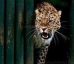 slides/IMG_4212.jpg wildlife, feline, big cat, cat, predator, fur, spot, amur, siberian, leopard, eye, mouth, fang, whisker, warning WBCW74 - Amur Leopard