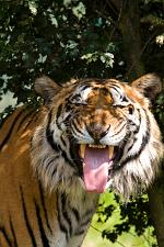 slides/IMG_4227.jpg wildlife, feline, big cat, cat, predator, fur, marking, bengal, tiger, tongue, indian WBCW23 - Bengal Tiger