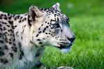 slides/IMG_4501.jpg wildlife, feline, big cat, cat, predator, fur, spot, snow, leopard, eye, steel WBCW19 - Snow Leopard