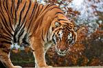 slides/IMG_4676.jpg wildlife, feline, big cat, cat, predator, fur, marking, stripe, bengal, tiger, eye WBCW88 - Bengal Tiger