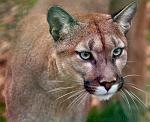 slides/IMG_4685.jpg wildlife, feline, big cat, cat, predator, fur, cougar, mountain, lion, puma, eye, whisker WBCW92 - Puma - Mountain Lion