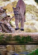 slides/IMG_4784.jpg wildlife, feline, big cat, cat, predator, fur, cougar, mountain, lion, puma, jump, leap WBCW94 - Puma - Mountain Lion - Jump