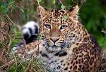 slides/IMG_4992.jpg wildlife, feline, big cat, cat, predator, fur, spot, chinese, leopard, eye, whisker WBCW83 - Chinese Leopard