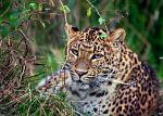 slides/IMG_4999.jpg wildlife, feline, big cat, cat, predator, fur, spot, chinese, leopard, eye, whisker WBCW84 - Chinese Leopard
