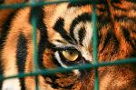 slides/IMG_5826.jpg wildlife, feline, big cat, cat, predator, fur, marking, sumatran, tiger, eye, cage WBCW16 - Sumatran Tiger