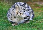 slides/IMG_7521.jpg wildlife, feline, big cat, cat, predator, fur, spot, snow, leopard, eye, steel WBCW21 - Snow Leopard