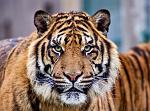 slides/IMG_8233.jpg wildlife, feline, big cat, cat, predator, fur, marking, stripe, sumatran, tiger, eye WBCW105 - Sumatran Tiger