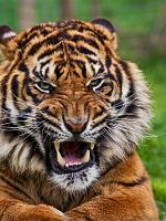 slides/IMG_8355.jpg wildlife, feline, big cat, cat, predator, fur, marking, stripe, sumatran, tiger, eye, mouth, fang, tongue WBCW107 - Sumatran Tiger