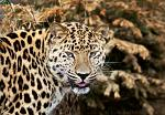 slides/IMG_8483.jpg wildlife, feline, big cat, cat, predator, fur, spot, amur, siberian, leopard, eye, whisker, prowl, tongue WBCW77 - Amur Leopard