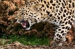slides/IMG_8511.jpg wildlife, feline, big cat, cat, predator, fur, spot, amur, siberian, leopard, eye, whisker, prowl, tongue, fang WBCW79 - Amur Leopard