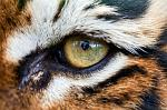 slides/IMG_8732.jpg wildlife, feline, big cat, cat, predator, fur, marking, stripe, bengal, tiger, eye, detail, macro, reflection WBCW89 - Bengal Tiger - Eye Macro Detail
