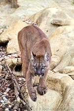 slides/IMG_8774.jpg wildlife, feline, big cat, cat, predator, fur, cougar, mountain, lion, puma, prowl WBCW99 - Puma - Mountain Lion