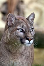 slides/IMG_8776.jpg wildlife, feline, big cat, cat, predator, fur, cougar, mountain, lion, puma, eye WBCW95 - Puma - Mountain Lion
