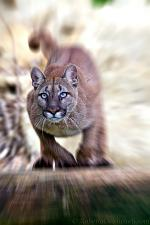 slides/IMG_8787_1.jpg wildlife, feline, big cat, cat, predator, fur, cougar, mountain, lion, puma, jump, leap WBCW96 - Puma - Mountain Lion - Jump - Original without zooming effect is available too