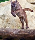 slides/IMG_8811.jpg wildlife, feline, big cat, cat, predator, fur, cougar, mountain, lion, puma, jump, leap WBCW98 - Puma - Mountain Lion - Jump