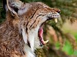slides/IMG_9069M.jpg wildlife, feline, cat, predator, fur, eurasian, lynx, eye, ear, fang, mouth, yawn WBCW101 - Eurasian Lynx