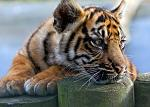 slides/IMG_9904.jpg sumatran, tiger, cub, wildlife, feline, big cat, cat, predator, fur, marking, stripe, eye WBCW114 - Sumatran Tiger Cub