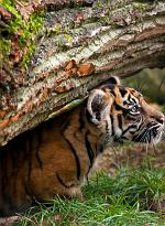 slides/IMG_9968.jpg sumatran, tiger, cub, wildlife, feline, big cat, cat, predator, fur, marking, stripe, eye, play WBCW115 - Sumatran Tiger Cub