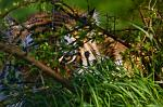 slides/_MG_7058.jpg wildlife, feline, big cat, cat, predator, fur, marking, amur, siberian, tiger WBCW27 - Amur Tiger