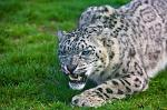 slides/_MG_7937.jpg wildlife, feline, big cat, cat, predator, fur, spot, snow, leopard, eye, steel, fang WBCW46 - Snow Leopard