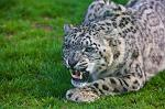 slides/_MG_7939.jpg wildlife, feline, big cat, cat, predator, fur, spot, snow, leopard, eye, steel, fang WBCW47 - Snow Leopard