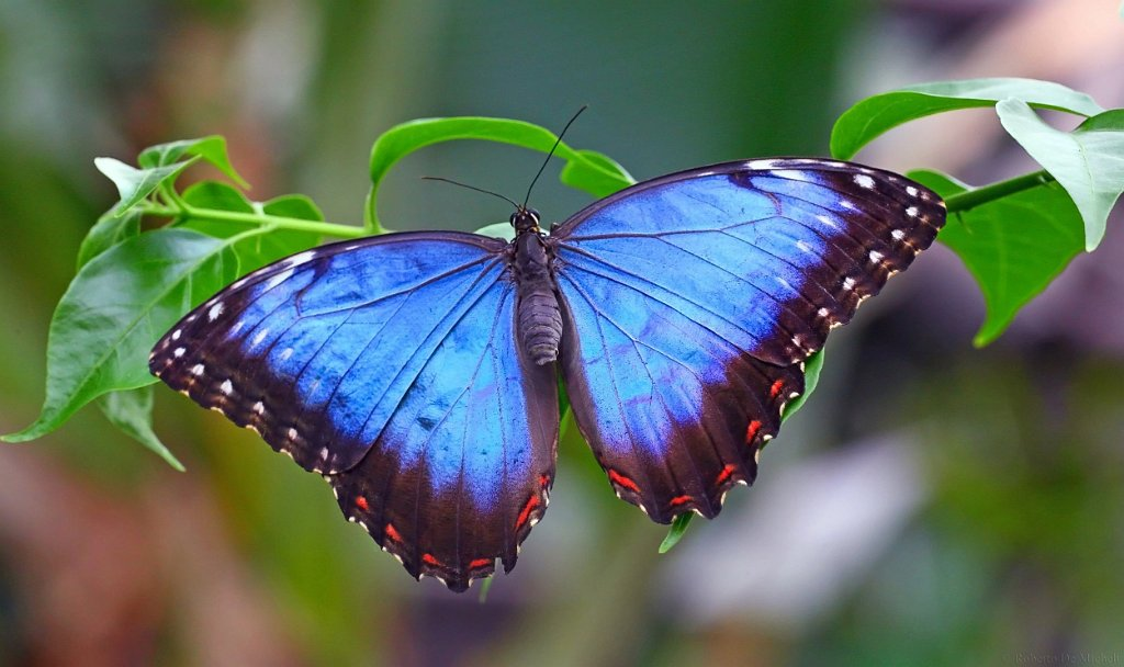 Blue morpho movie